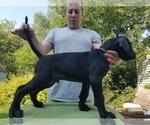 Puppy 2 Presa Canario