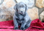 Charcoal Lab Puppy For Sale