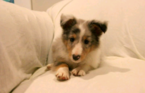 Shetland Sheepdog Puppy For Sale in BEDFORD, PA, USA