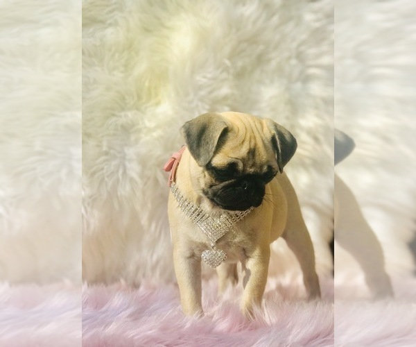 Medium Photo #8 Pug Puppy For Sale in CANTON, CT, USA
