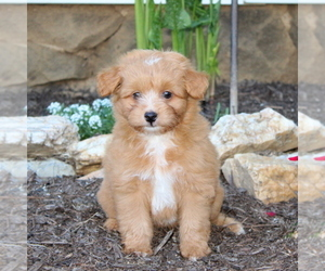 Medium Australian Shepherd-Poodle (Miniature) Mix