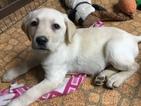 Labrador Retriever Puppy For Sale in MENDOTA, IL, USA