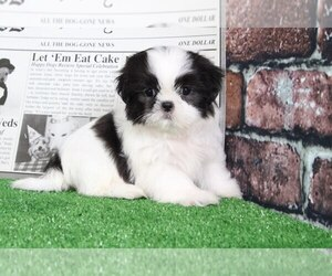 Shih Tzu Puppy for sale in BEL AIR, MD, USA