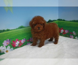 Poodle (Toy) Puppy for sale in BECKWOURTH, CA, USA