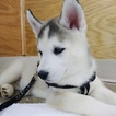 Siberian Husky Puppy For Sale in KEWANEE, IL,