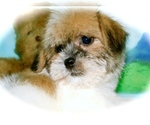 Small Shorkie Tzu