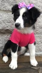 Australian Shepherd Puppy for Sale in ARBA, Indiana USA