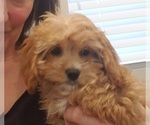 Small Cavalier King Charles Spaniel-Poodle (Standard) Mix