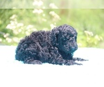 Small #29 Poodle (Standard)