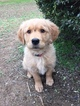Golden Retriever Puppy For Sale in LYERLY, GA,