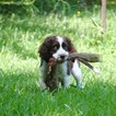 English Springer Spaniel Puppy For Sale in SIMPSONVILLE, SC, USA