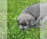 Small Photo #2 Labrador Retriever Puppy For Sale in SAN JOSE, CA, USA