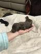 Vizsla-Weimaraner Mix Puppy For Sale near 61774, Stanford, IL, USA