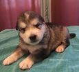 Puppy 1 Alaskan Malamute