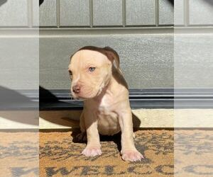 American Bully Puppy for sale in SAN JOSE, CA, USA