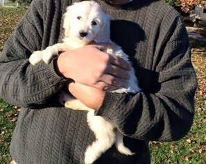 Goldendoodle Puppy for sale in RIVA, MD, USA