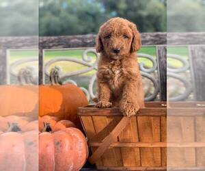Labradoodle-Labrador Retriever Mix Puppy for Sale in LADY LAKE, Florida USA