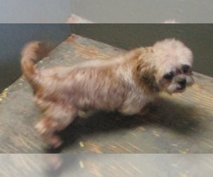 Shih Tzu Dog for Adoption in CARROLLTON, Georgia USA