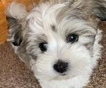 Puppy 3 Coton de Tulear