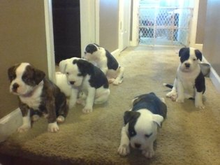 American Bulldog Puppy for sale in BUNCETON, MO, USA