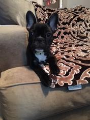 French Bulldog Puppy For Sale in VISALIA, CA