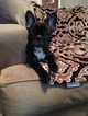 French Bulldog Puppy For Sale in VISALIA, CA