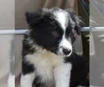 BORDER COLLIE MALE BISCUIT