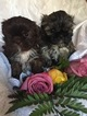 Shih Tzu Puppy For Sale in PUYALLUP, WA