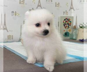 Japanese Spitz Puppy for sale in BEVERLY HILLS, CA, USA
