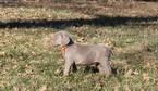 Weimaraner Puppy For Sale in HARVARD, NE, USA