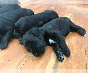 Goldendoodle Puppy for Sale in BURLEY, Idaho USA