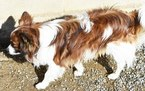 Papillon Puppy For Sale in EAST EARL, PA, USA