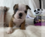 Small English Bulldog