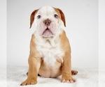 Small Photo #8 Bulldog Puppy For Sale in NAPPANEE, IN, USA