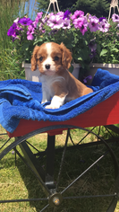 Cavalier King Charles Spaniel Puppy For Sale in KAYSVILLE, UT, USA