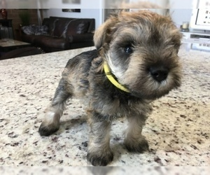 Schnauzer (Miniature) Puppy for Sale in VALRICO, Florida USA
