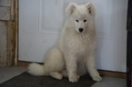 Samoyed Puppy For Sale in FREDERICKSBURG, Ohio,