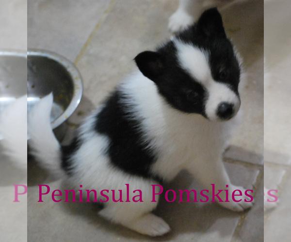 Medium Photo #3 Pomsky Puppy For Sale in SEQUIM, WA, USA