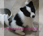 Small Photo #3 Pomsky Puppy For Sale in SEQUIM, WA, USA