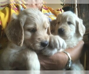 Goldendoodle Puppy for sale in PARKER, CO, USA