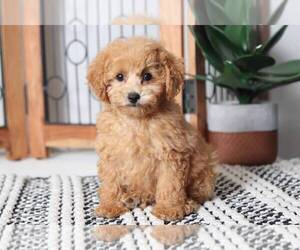 Poodle (Miniature) Puppy for sale in NAPLES, FL, USA