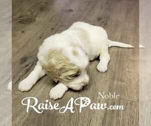 Goldendoodle-Poodle (Standard) Mix Puppy for sale in OVERGAARD, AZ, USA