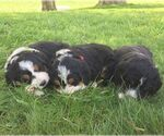 Small Photo #2 Bernedoodle Puppy For Sale in PORT ROYAL, PA, USA