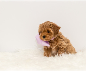Maltipoo Puppy for Sale in LITTLE ROCK, Arkansas USA