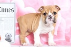 Bulldog Puppy For Sale in BEL AIR, MD, USA
