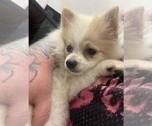 Pomeranian Puppy for Sale in TIMPSON, Texas USA