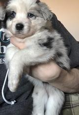 Border Collie Puppy For Sale in CHARLOTTE, MI, USA
