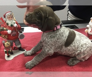 German Shorthaired Pointer Puppy for Sale in PAULDING, Ohio USA