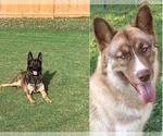 Small #1 German Shepherd Dog-Siberian Husky Mix