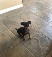 Miniature Pinscher Puppy For Sale in LAS VEGAS, NV, USA